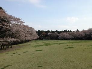Cherry Blossoms Izumi Koen